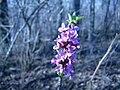 Mezereon flowers (Whitefish I) 4.JPG
