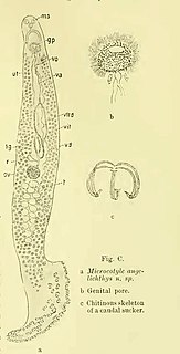 <i>Microcotyle angelichthys</i> Species of worms