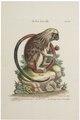 Midas oedipus - 1700-1880 - Print - Iconographia Zoologica - Special Collections University of Amsterdam - UBA01 IZ20200194.tif