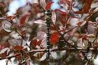 Migrant hawker dragonfly (Aeshna mixta) male, Cumnor Hill, Oxford.jpg
