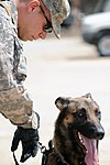 Military Working Dogs training in Baghdad, Iraq DVIDS173886.jpg