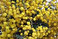 Mimosa Flowers.JPG