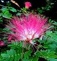 Mimosa flower at mahabaleswar.jpg