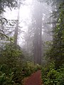 Misty Redwoods.jpg