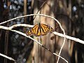 Monarch butterfly at Ellwood Mesa (23553678762).jpg