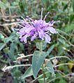 Monarda fistulosa - Flickr - gailhampshire (1).jpg