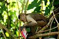 Mono con un Pepito e' pobre.jpg
