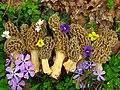 Morchella americana Clowez & C. Matherly 142992.jpg