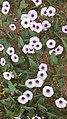Morning glory flower - 3.jpg