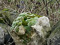 Mosses and Lichen on a Dry Stone Wall - geograph.org.uk - 343987.jpg