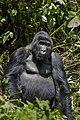 Mountain gorilla (Gorilla beringei beringei) 26.jpg