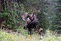 Mr Moose (3678680153).jpg