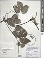 Mucuna pruriens-NMNH-13641895.jpg