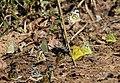 Mudpuddling Butterflies Chinnar WLS Kerala (76).jpg