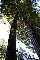 MuirWoodsCA-RedwoodTree-Aug2008.jpg