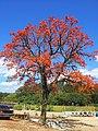 Mulungú ( Erythrina Mulung) No Brasil o Mulungú é usado muito como sedativo natural. A planta tem cor parecido com a do coral laranja. - panoramio.jpg
