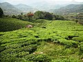 Munnar Hill Station, Tea Plantation - panoramio (2).jpg
