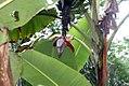 Musa paradisiaca var. sapientum Cuadrado 1zz.jpg