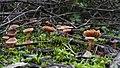 Mushroom family (24004154352).jpg