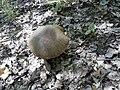Mushrooms - Funghi (15050815337).jpg