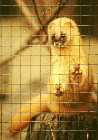 Siberian weasel - Mustela sibirica in winter coat
