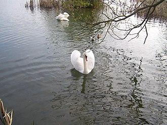 Brasside - Image: Mute swans,Brasside pond geograph.org.uk 790159