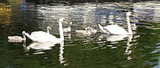 A pair of mute swans with five cygnets