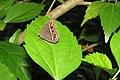 Mycalesis mineus - Dark-branded Bushbrown at Peravoor 2014 (1).jpg