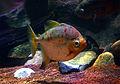 Myloplus rubripinnis Scheveningen Sea Life 15022016 2.jpg