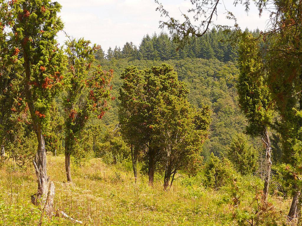Bleckhausener Wacholderschutzgebiet.