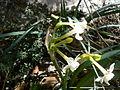 Nadala Menuda (Narcissus Dubius) 06.JPG