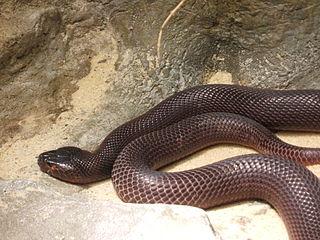 Red spitting cobra Naja pallida