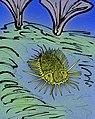 Namuropyge acanthina.JPG