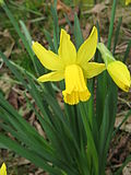 Narcissus February Gold closeup.jpg