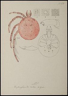 Hydryphantidae family of arachnids