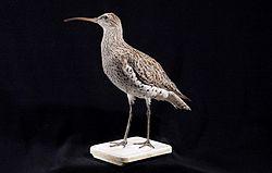 Naturalis Biodiversity Center - ZMA.AVES.1670 - Numenius tenuirostris Vieillot, 1817 - Scolopacidae - skin specimen.jpeg