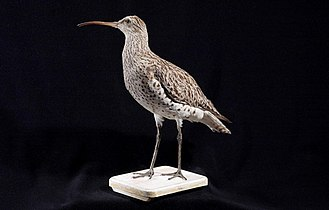 Slender-billed curlew - Taxidermied specimen, Naturalis