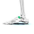 Navicular bone10.png