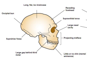 Occipital bun - Profile of a Neanderthal skull, with the occipital bun visible at the back of the skull