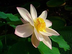 Nelumbo nucifera, Nelumbonaceae, Indian Lotus,...