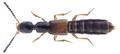 Neobisnius prolixus (Erichson, 1840).png