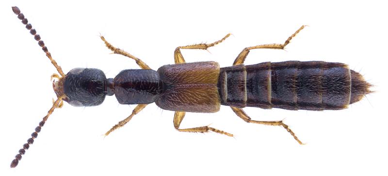 File:Neobisnius prolixus (Erichson, 1840).png