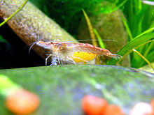 Neocaridina davidi - Wikipedia