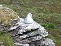 Nesting Fulmar - geograph.org.uk - 492087.jpg