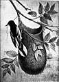 Nests and eggs of North American birds (1898) (20143404584).jpg