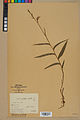 Neuchâtel Herbarium - Cephalanthera rubra - NEU000046842.jpg