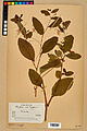 Neuchâtel Herbarium - Impatiens noli-tangere - NEU000019958.jpg