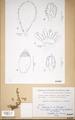 Neuchatel Herbarium Types NEU000113068.tif