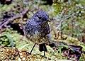 New Zealand bush robin. (20480315155).jpg