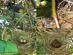 New holland honeyeater nest 4.jpg
